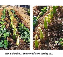 the corn is coming up by Ron Wright