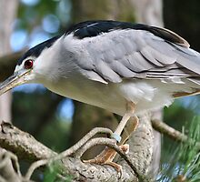 Night Heron by Dorothy Thomson
