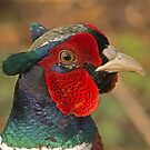 Male Pheasant by MikeSquires