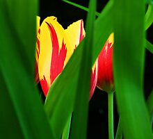Hiding Tulips by gcbphotography