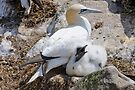 Gannet and chick, Saltee Island, County Wexford, Ireland by Andrew Jones
