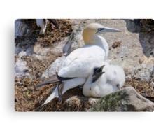 Gannet and chick, Saltee Island, County Wexford, Ireland Canvas Print