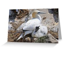 Gannet and chick, Saltee Island, County Wexford, Ireland Greeting Card