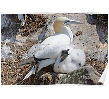 Gannet and chick, Saltee Island, County Wexford, Ireland Poster