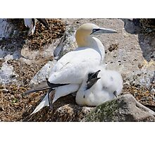 Gannet and chick, Saltee Island, County Wexford, Ireland Photographic Print