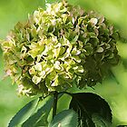 *Just Green Hydrangea* by DeeZ (D L Honeycutt)