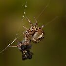 Garden Spider by Jon Lees
