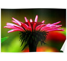 Silky Cone Flower Poster