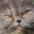 head young fluffy cat closeup  by Valerii Kotulskyi