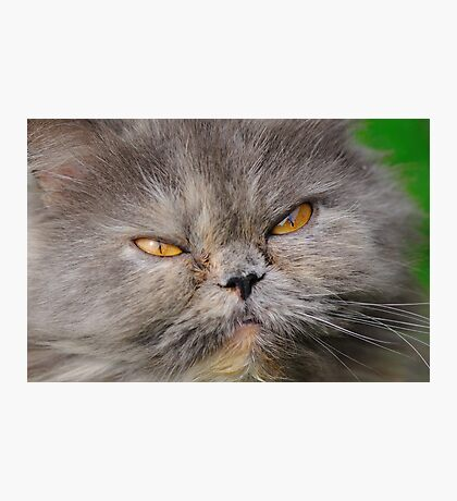head young fluffy cat closeup  Photographic Print