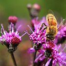 Bee on Ironweed by Rachel Leigh