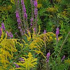 Roadside Beauty  ( Goldenrod and Loosestrife) by goddarb