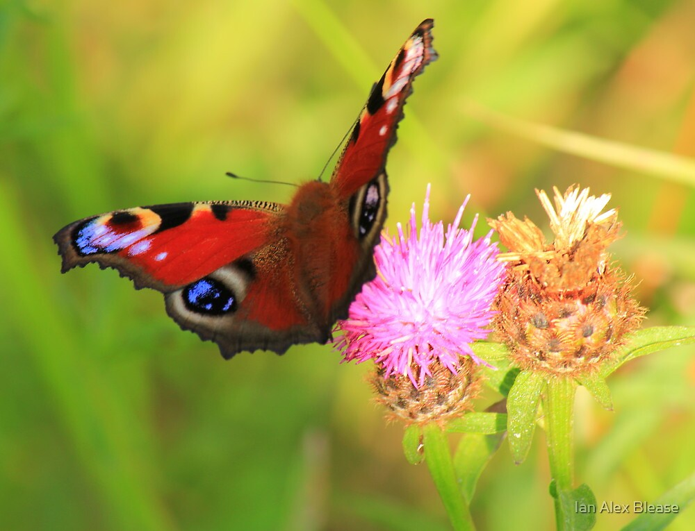 Peacock Butterfly on Knapweed, Manfield Scar,River Tees, UK. by Ian Alex Blease