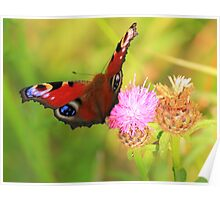 Peacock Butterfly on Knapweed, Manfield Scar,River Tees, UK. Poster