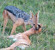 Jackal kills a gazelle by Panayiotis Zavros