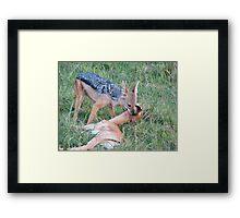 Jackal kills a gazelle Framed Print
