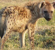 Hyena by Panayiotis Zavros