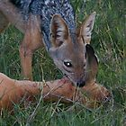 Jackal kills a young gazelle by Panayiotis Zavros