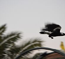 More Backyard Magpies 006 by JoBling