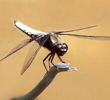 Dragonfly by SophiaDeLuna