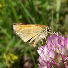Skipper butterfly by SophiaDeLuna