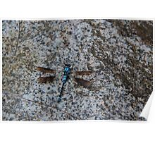Blue skimmer dragonfly on granite Poster
