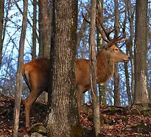 Red Deer in the forest.... by Poete100
