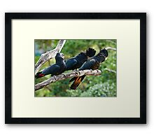 Laughing Red Tail Black Cockatoos Framed Print