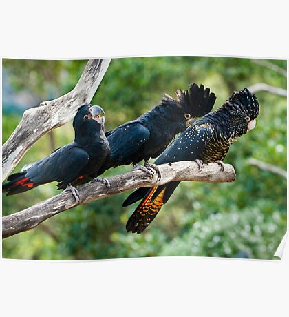 Laughing Red Tail Black Cockatoos Poster