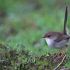 Superb Fairy Wren by Donovan wilson