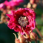 Flowering Raspberry by Kathleen Daley
