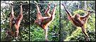 'Poser'. Orangutan, Borneo by Carole-Anne