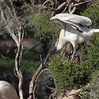 Flight's End: Australian White Ibis, South Australia  by Carole-Anne