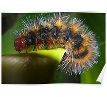 Fiery Hairy Little Redhead Caterpillar  Poster