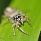 Jumping spider by onlyricky