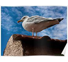 Seagull - Beer, Devon Poster