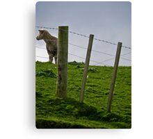 sheepen Canvas Print