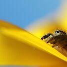 Jumping Spider Closeup by KatsEyePhoto