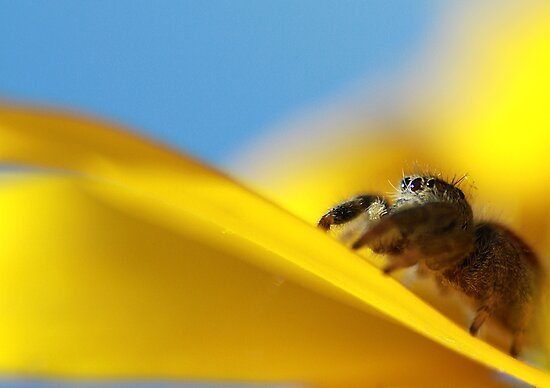 Jumping Spider Closeup by KatsEyePhoto