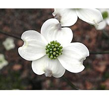 Dogwood Blossom Photographic Print