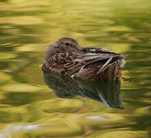 Sleeping Duck by Chrystielee Photography