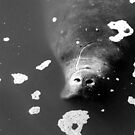 Manatee Monochrome by naturalnomad