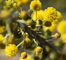 Acacia paradoxa by garts