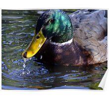 Lucky Duck Poster