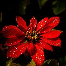 The Red Poinsettia by Nicole Wells