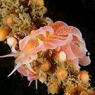 Nudibranch - Phyllodesmium poindimiei by Andrew Trevor-Jones