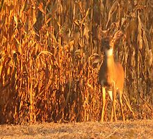 Deer in Golden Fields by lorilee