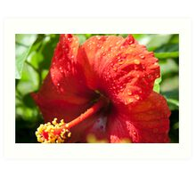 Morning Droplets Resting On A Hibiscus  Art Print