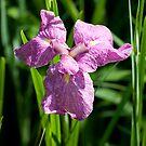 Japanese Iris by Skye Hohmann