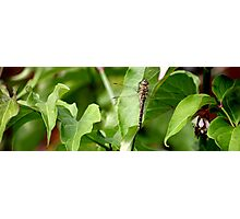 Dragonfly on Leaf Photographic Print